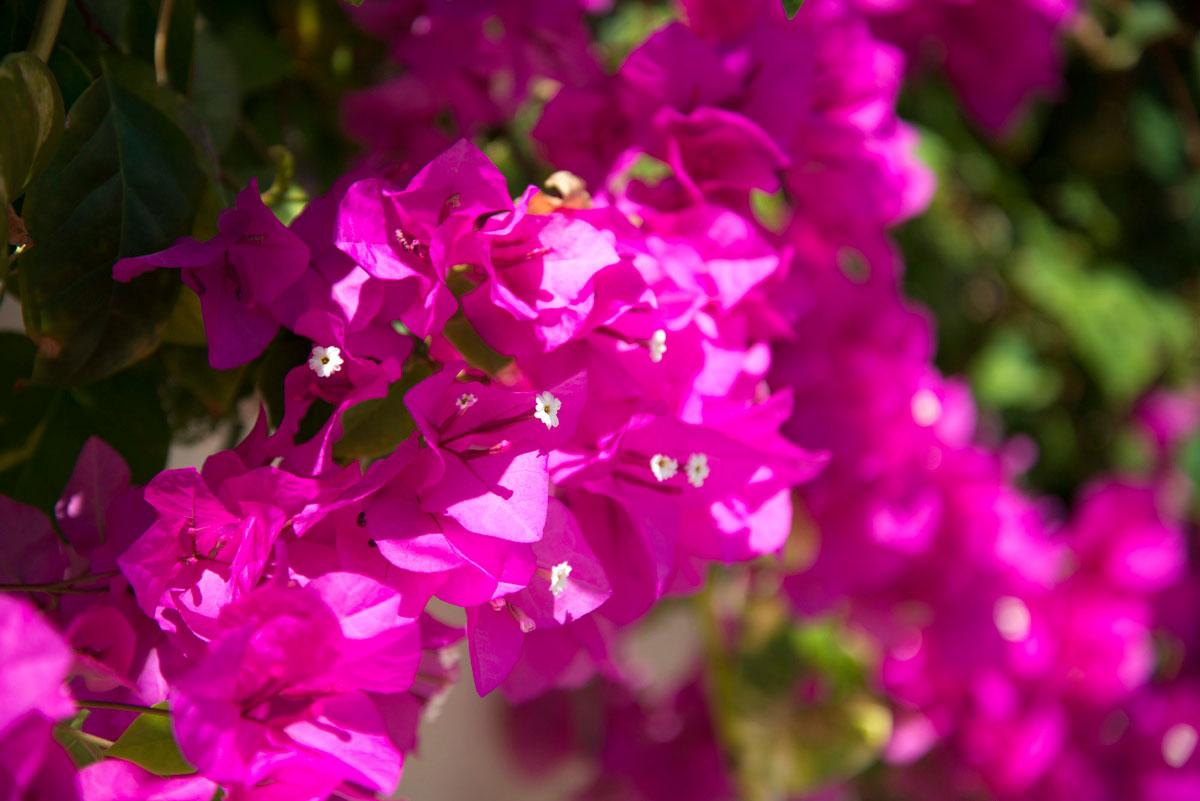 """""""Flores"""" com a Nikon D800E + AF-S Nikkor 24-85mm f/3.5-4.5G ED VR em f/4.5 1/750 ISO100 @ 85mm, bokeh interessante em telephoto, abertura máxima e próxima do foco mínimo."""