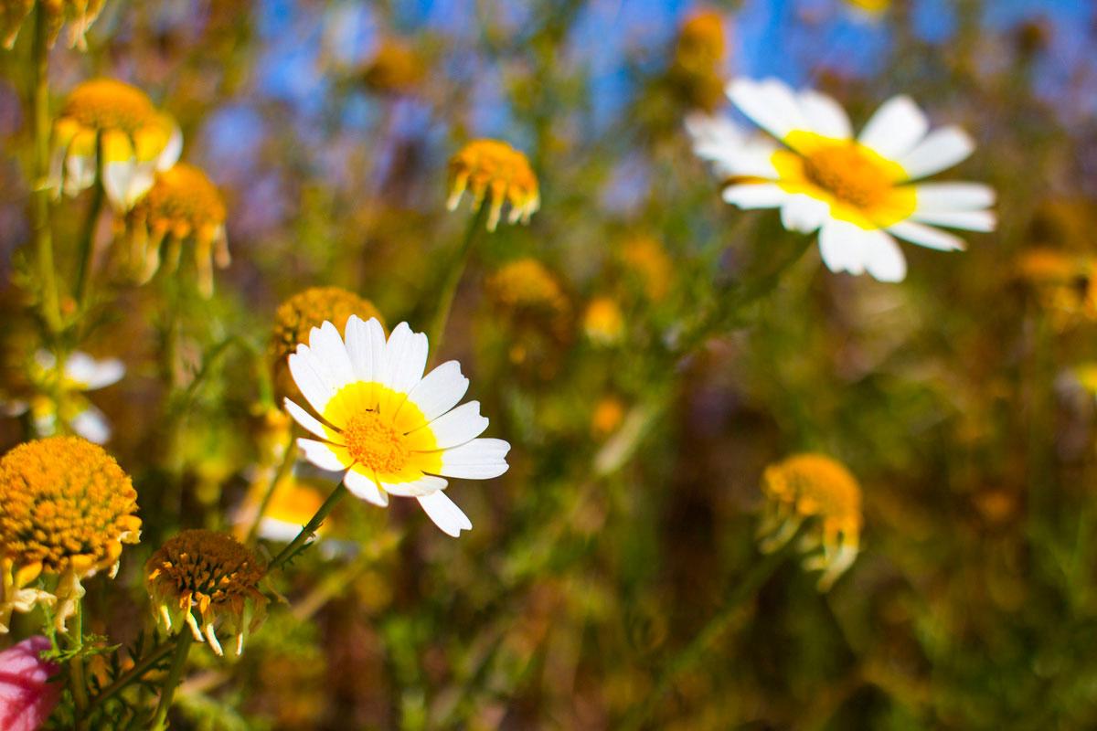 """""""Flores"""" com a EOS-M em f/2.8 1/4000 ISO100; falta suavidade no segundo plano. Download raw. http://www.blogdozack.com.br/RAW/EF28MMF18USM/IMG_1776.CR2"""