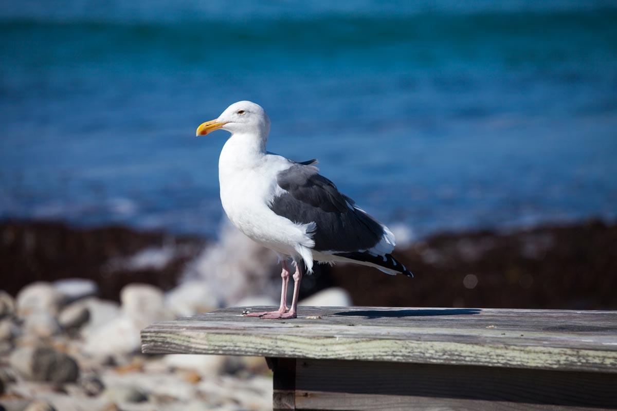 """""""Seagull"""" em f/9 1/800 ISO100 @ 300mm."""