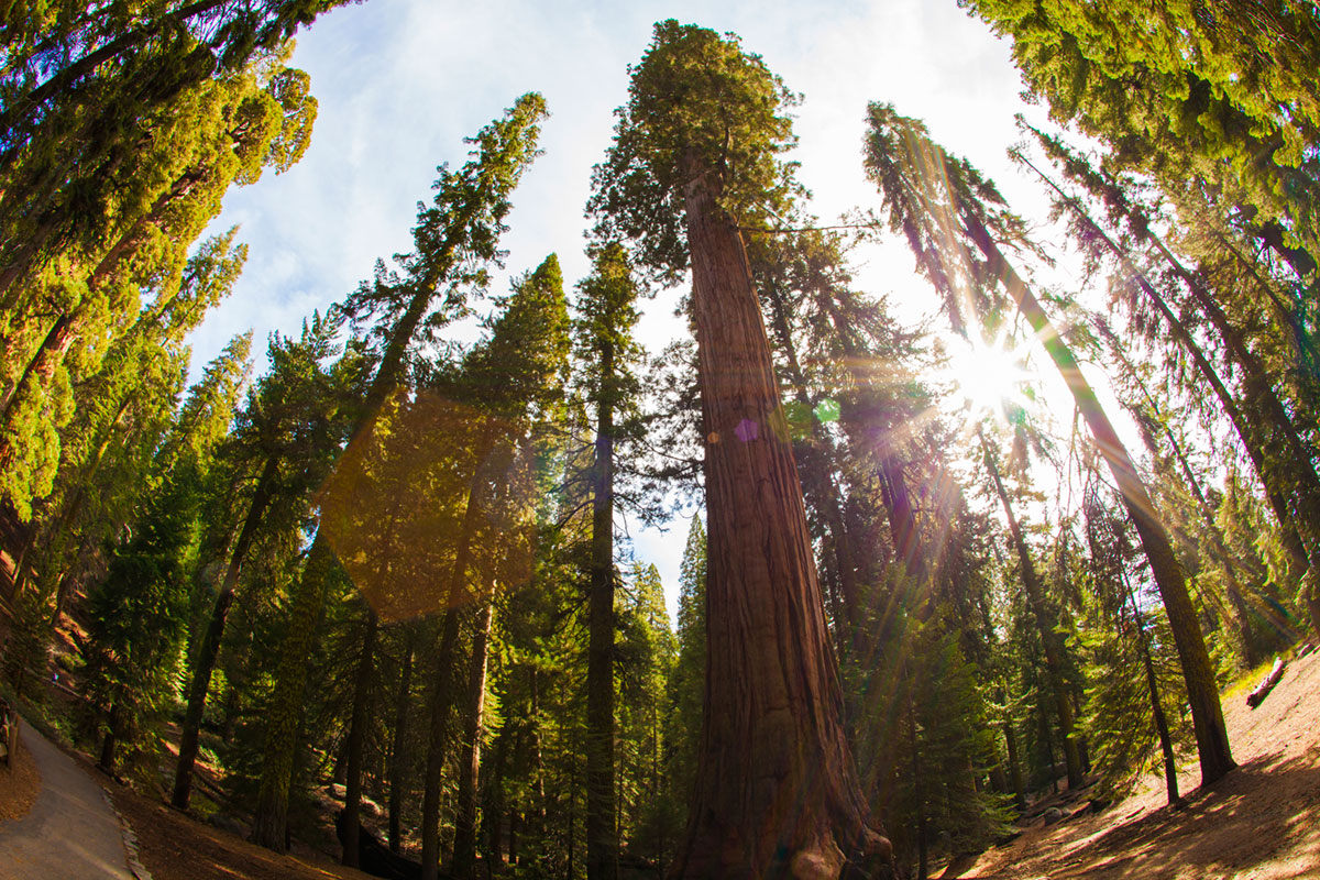 """""""Sequoia 3"""" with the 5D Mark II at f/13 1/30 ISO160."""