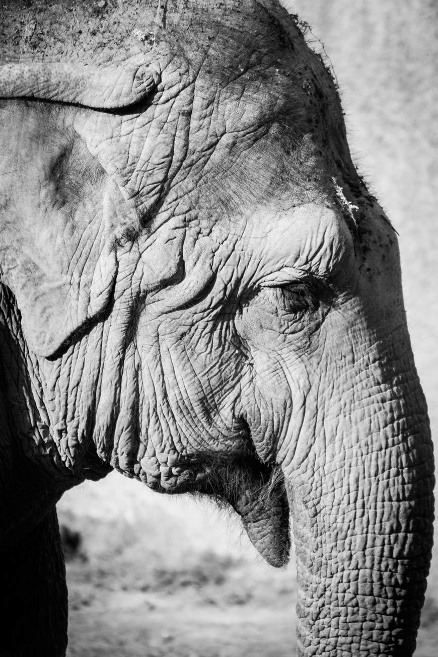 """""""Elefante II"""" em f/5.6 1/500 ISO200 @ 300mm."""