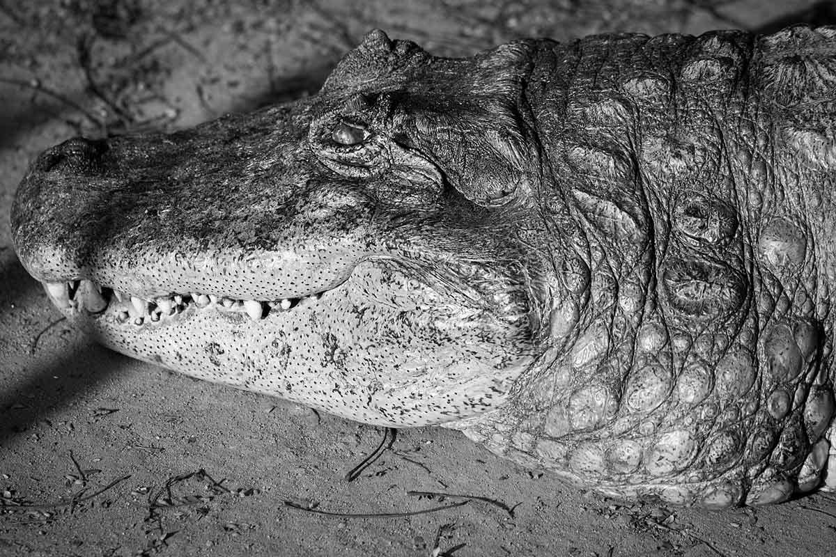 """Crocodilo II"" em f/8 1/350 ISO200 @ 300mm."