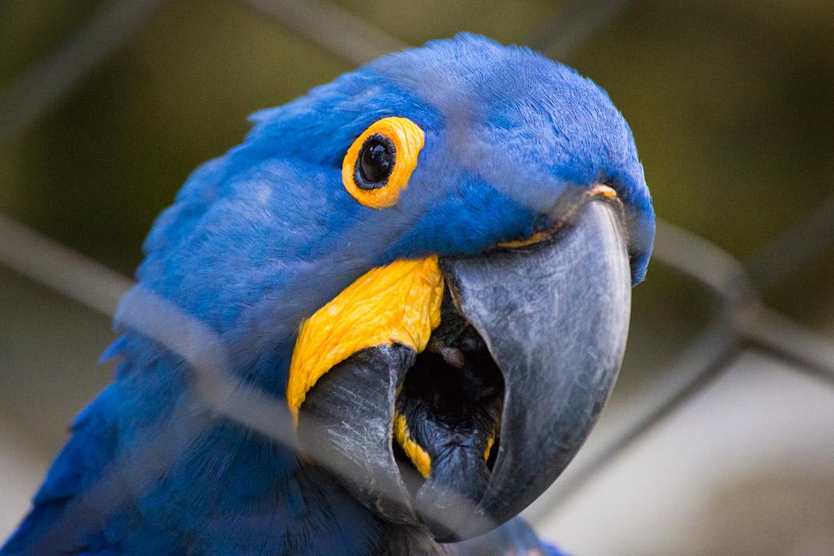 """Arara Azul"" em f/5.6 1/750 ISO12800 @ 300mm."