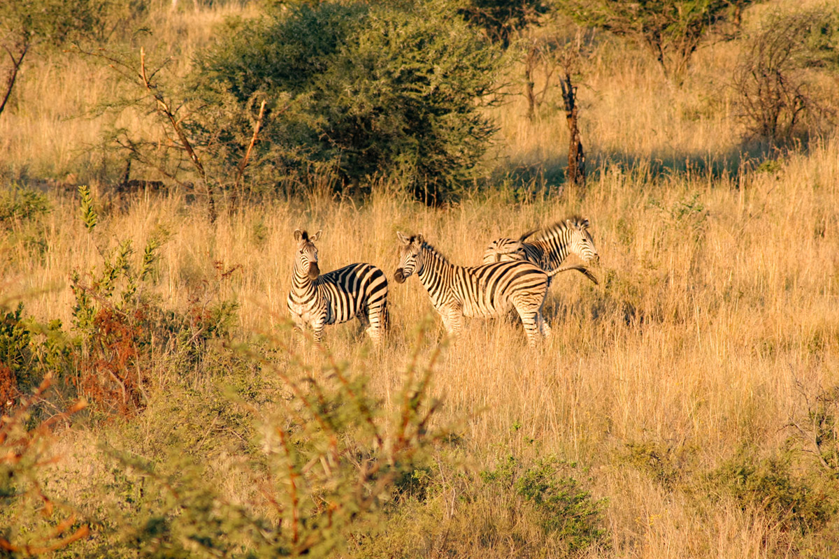 """""""Zebras"""" em f/7.1 1/500 ISO400 @ 300mm."""