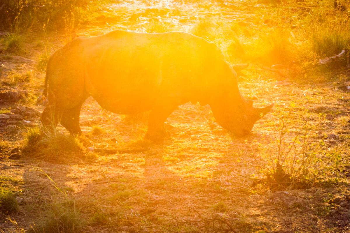 """""""Rhino"""" em f/9 1/400 ISO1600 @ 100m, aparência do flaring sobre a imagem."""