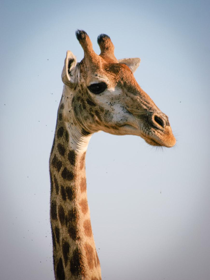 """""""Girafa close"""" em f/5.6 1/1600 ISO400 @ 300mm; alcance da tele objetiva."""