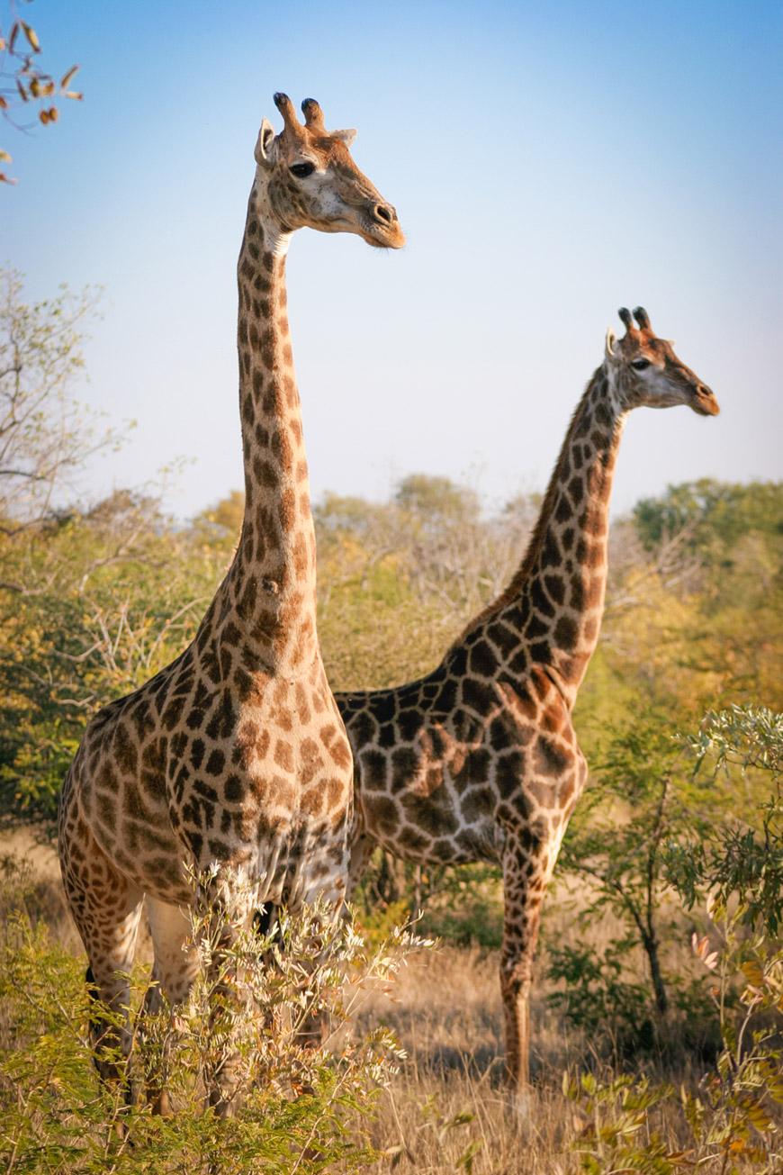 """""""Girafas"""" em f/4.5 1/1600 ISO400 @ 100mm."""