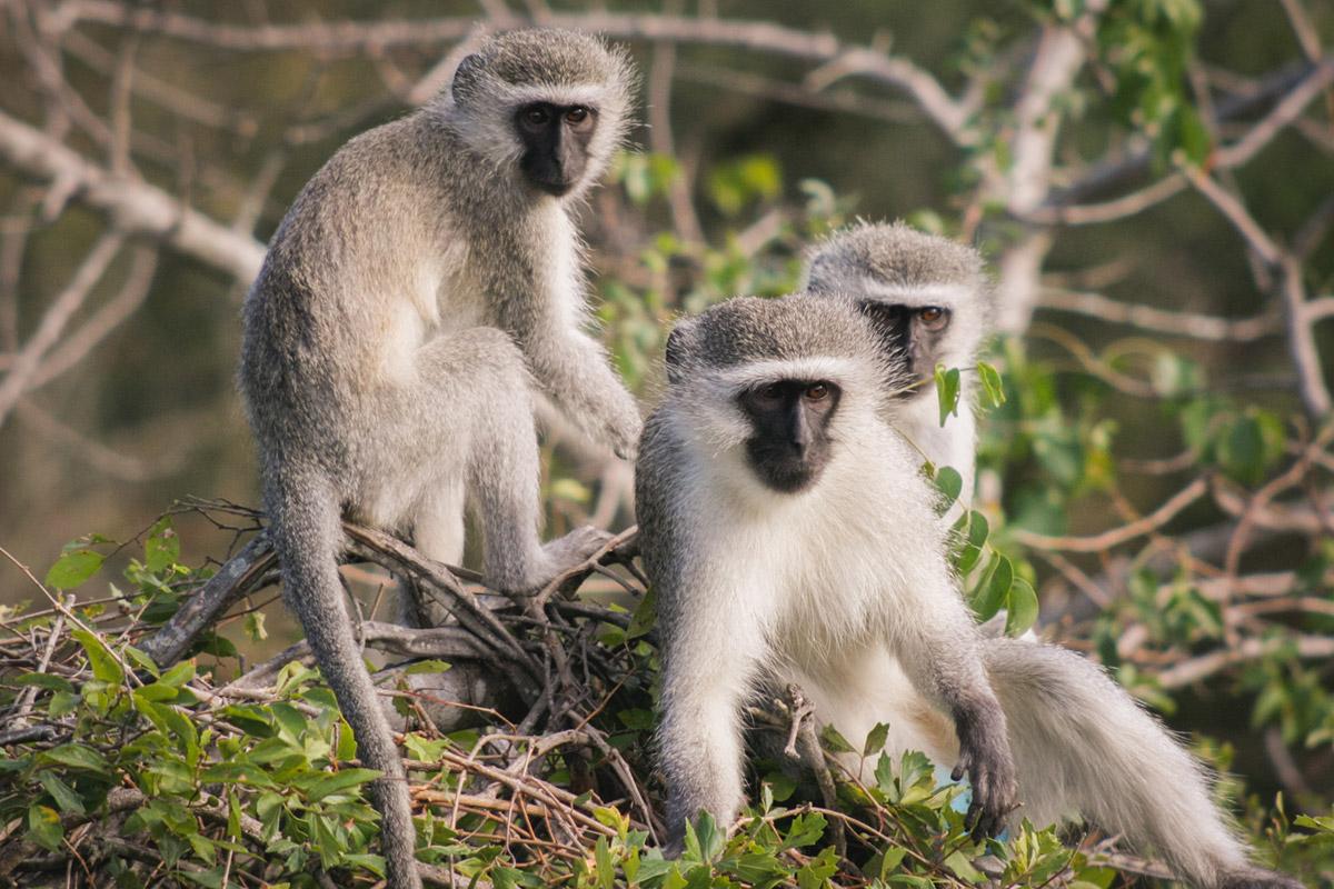 """Macacos"" em f/5.6 1/1600 ISO800 @ 200mm."