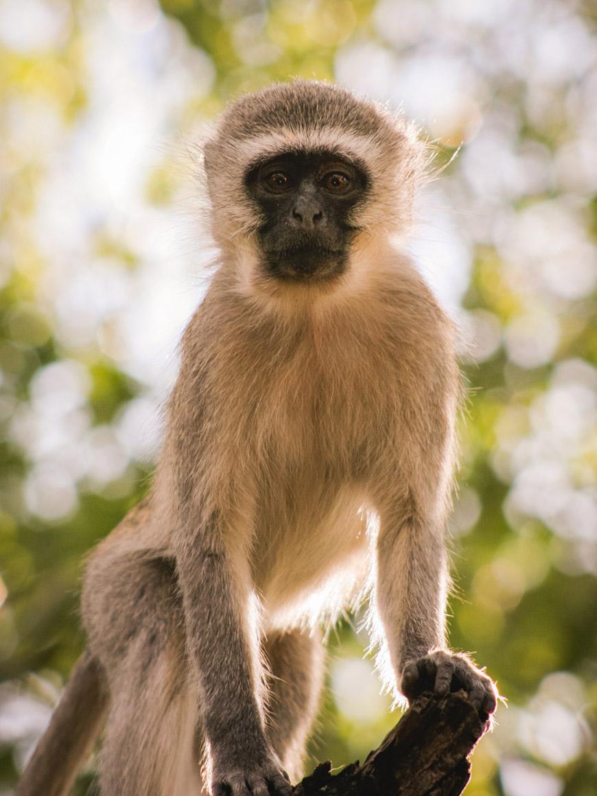 """Macaco"" em f/7.1 1/400 ISO400 @ 240mm."