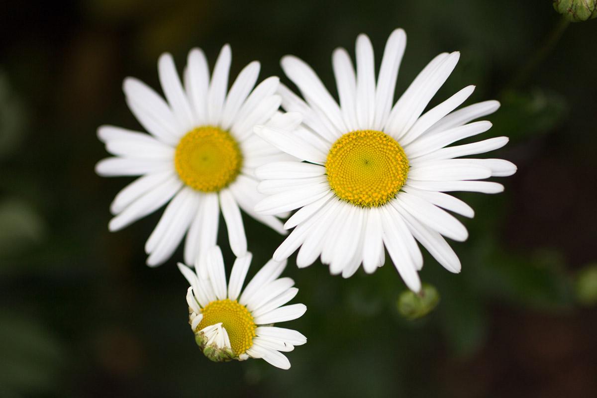"""""""Daisy"""" em f/1.8 1/3200 ISO100."""