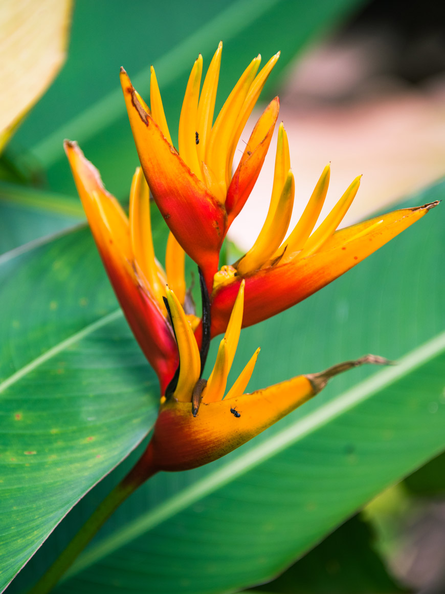 """Heliconia II"" at f/5.6 1/100 ISO500 @ 300mm."