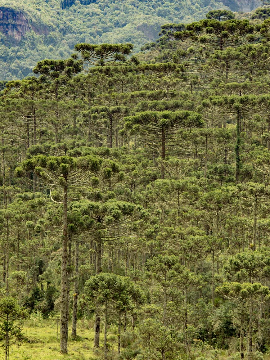 """Floresta de Araucária"" at f/7.1 1/125 ISO100 @ 165mm."