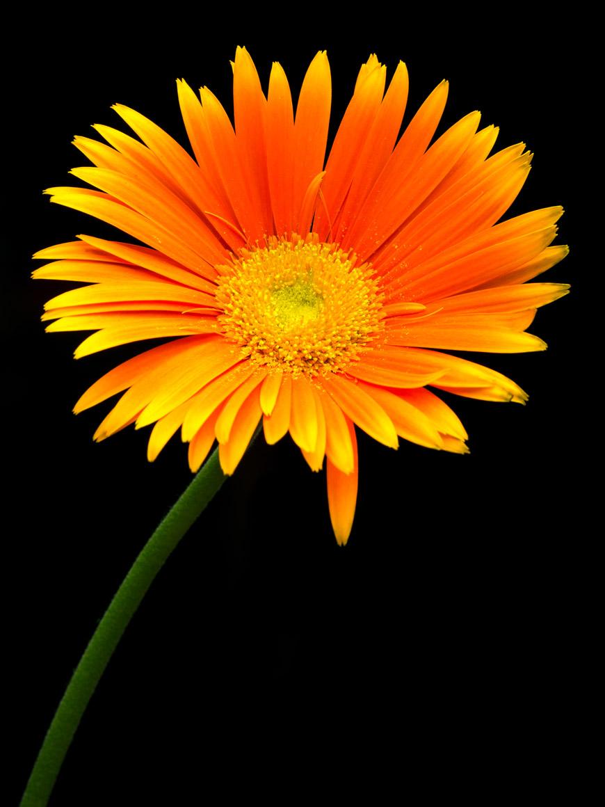 """""""Transvaal Daisy II"""" em f/20 1/5 ISO100 1:5."""