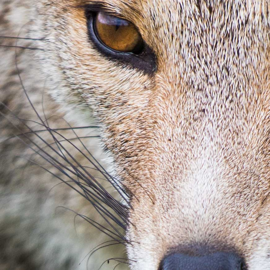 Crop 100%, ISO100, o seu valor para sujeitos detalhados como animais silvestres.