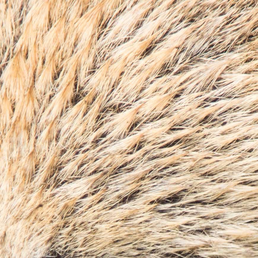 Crop 100%, todos os pêlos e nada de ruídos em ISO100.