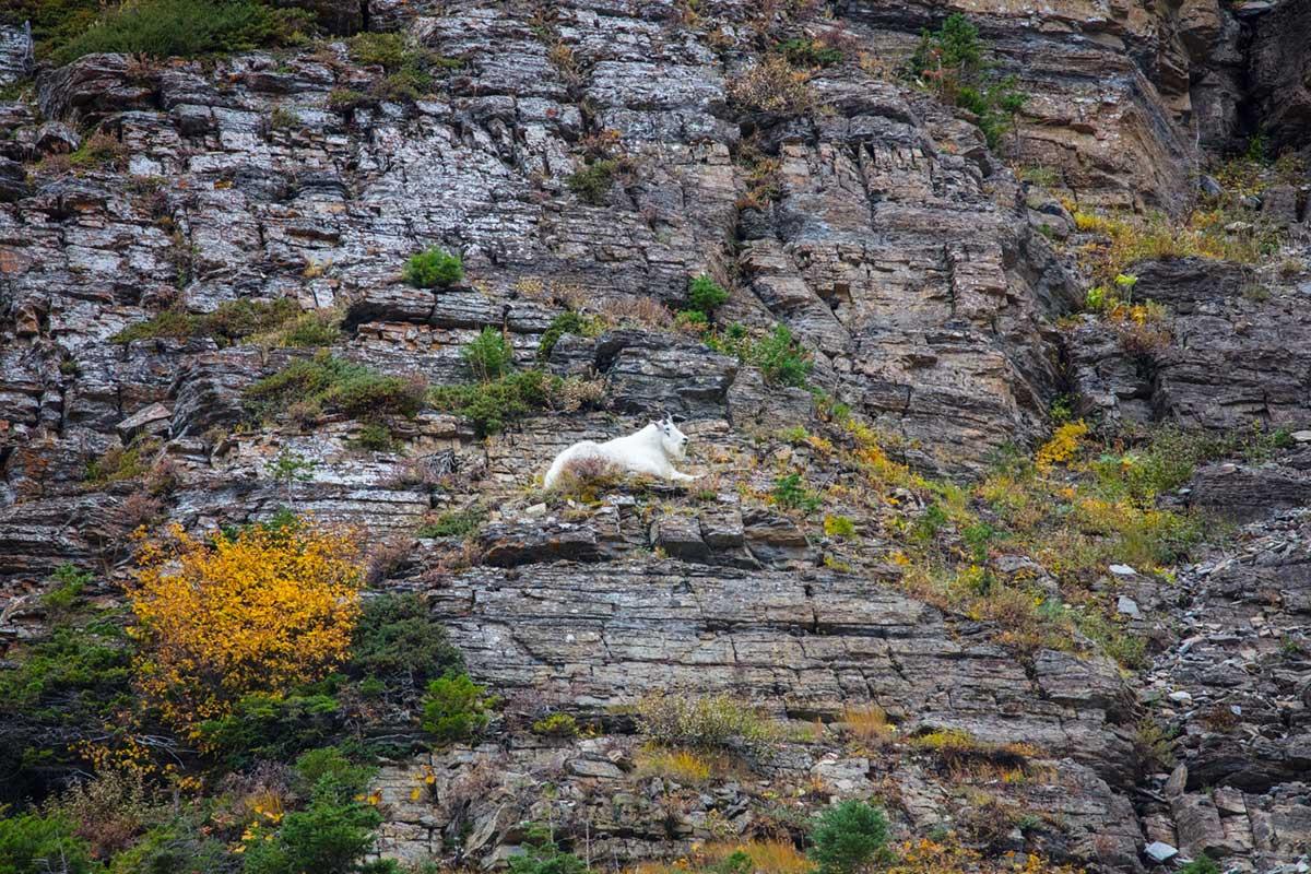 """""""Mountain Goat"""" em f/6.3 1/320 ISO1250 @ 600mm; vinheta discreta em composições tumultuadas."""