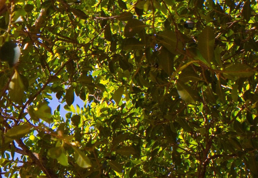 Crop 100%, praticamente todas as folhas bem renderizadas em cenas naturais.