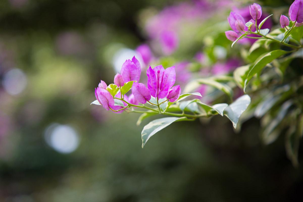 """""""Flores"""" em f/4 1/320 ISO100 @ 105mm; telephoto e abertura máxima, profundidade de campo curta."""