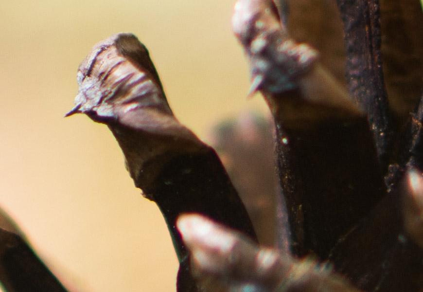 Crop 100%, detalhes finos são reproduzidos mesmo no foco mínimo de 0.39cm.