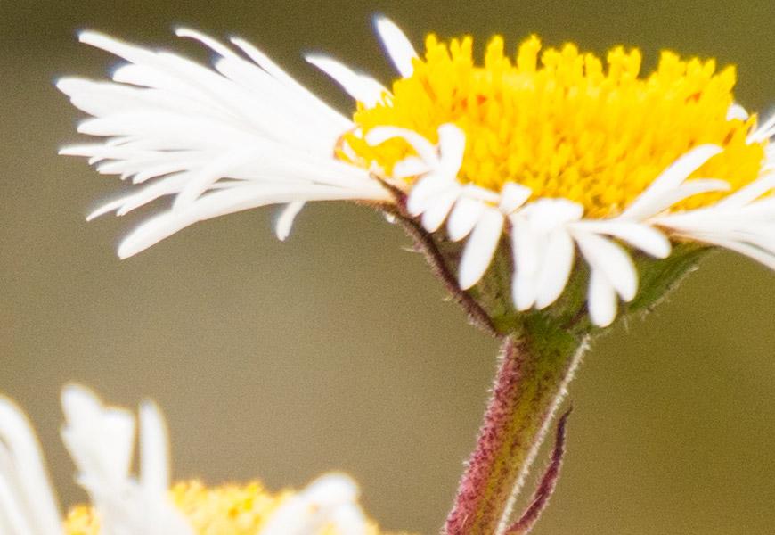 100% crop, nitidez logo vai embora com a profundidade de campo curta, mas a resolução permanece no plano focal.