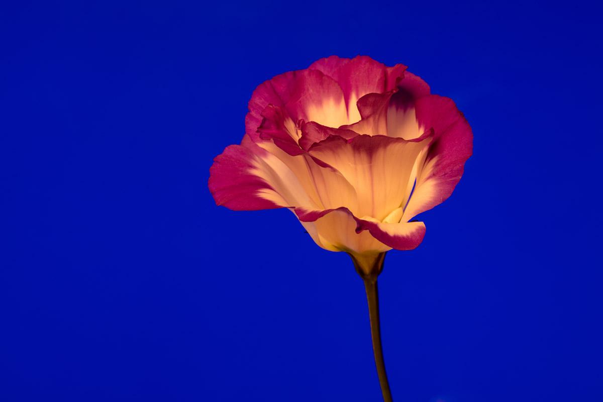 """""""Rosa"""" em f/11 6s ISO100."""