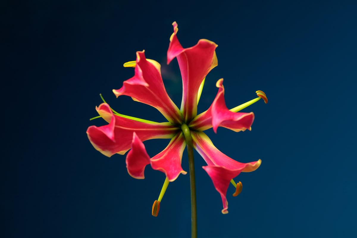 """Gloriosa superba"" at f/11 8s, ISO100."