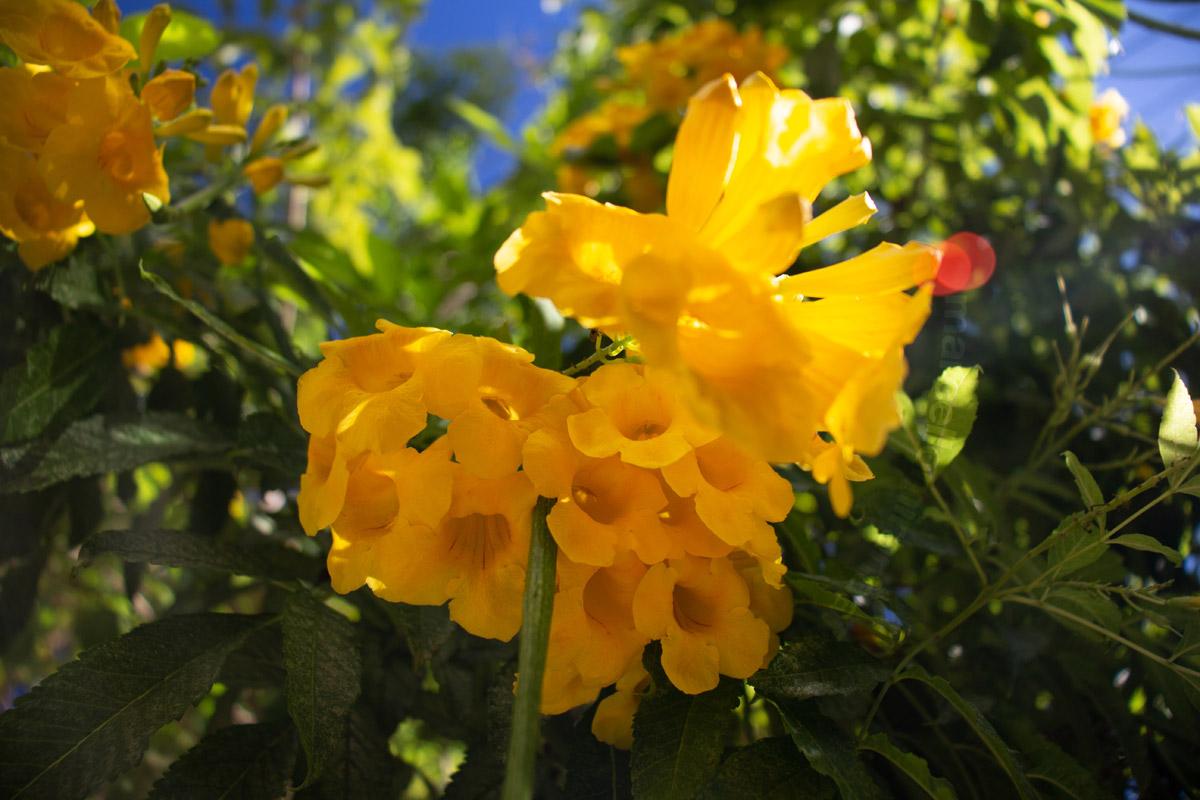 """""""Amarelo"""" em f/4 1/200 ISO100 @ 18mm; próximo do foco mínimo."""